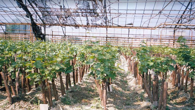 сорт винограду Каберне Совіньйон