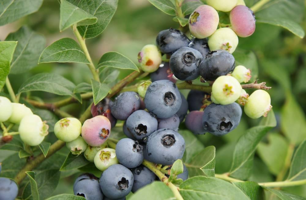 Правильное питание голубики — секрет хорошего урожая