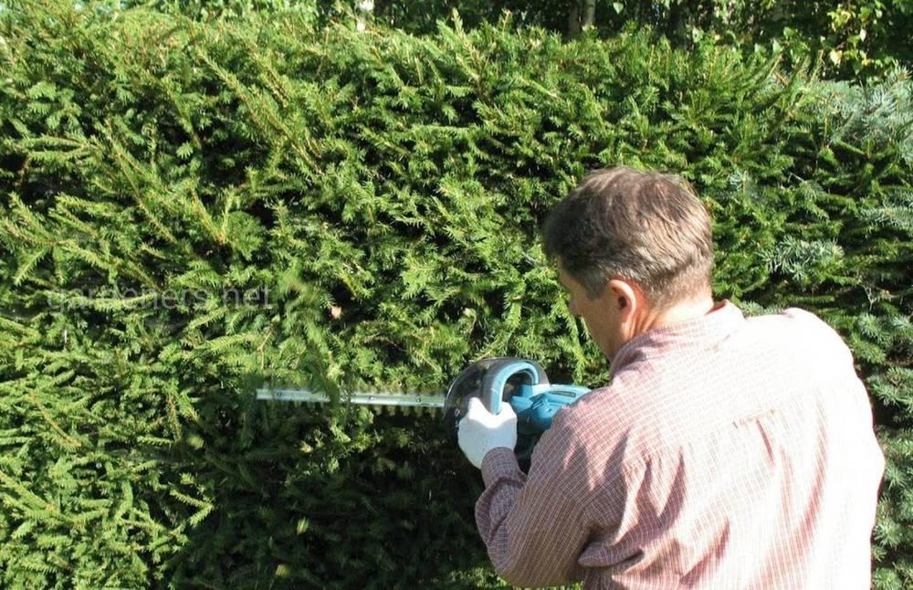 Как формировать и обрезать изгороди из хвойных