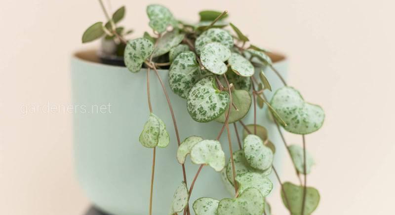 Церопегія: найбільш поширені види незвичайної кімнатної рослини