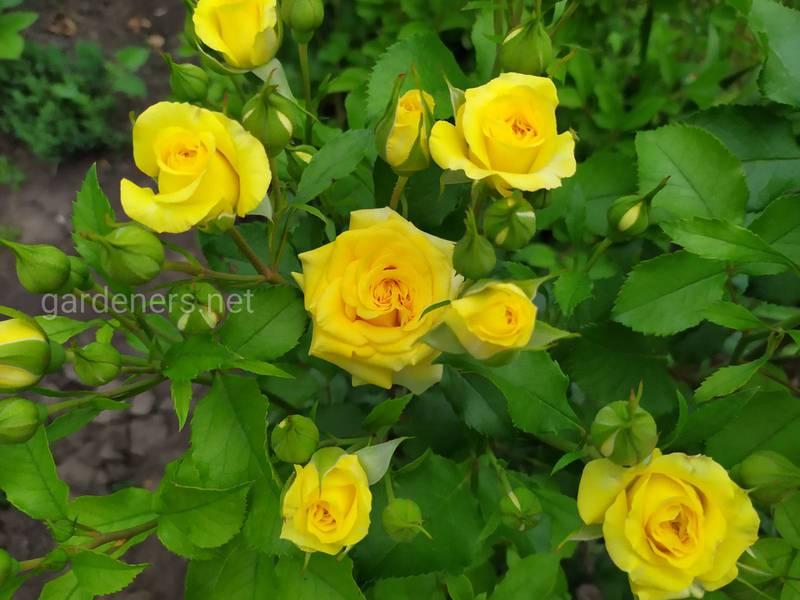 Легенда о желтых розах...