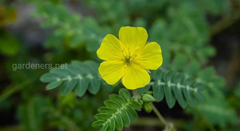 Якірці сланкі: рослина з унікальними цілющими властивостями