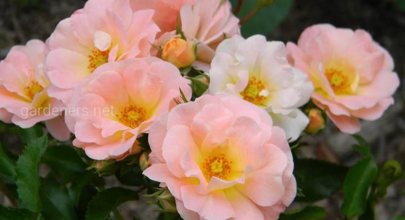 Розы Drift
