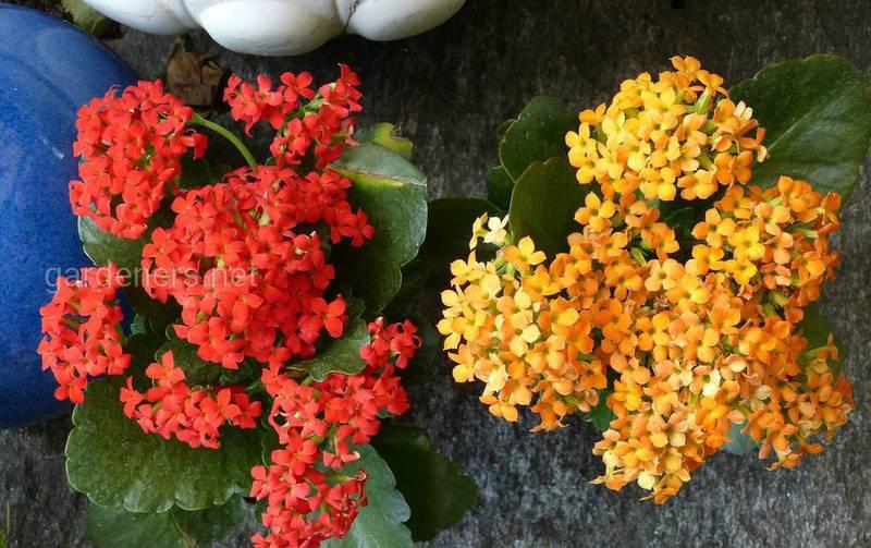 """Які найчастіші """"зимові"""" проблеми виникають при вирощуванні каланхое?"""