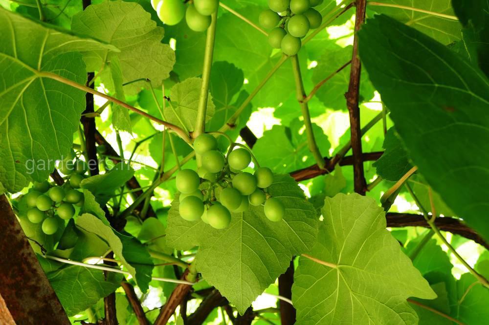 беседка из винограда