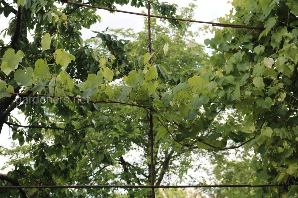 Що посадити в міжряддях винограду