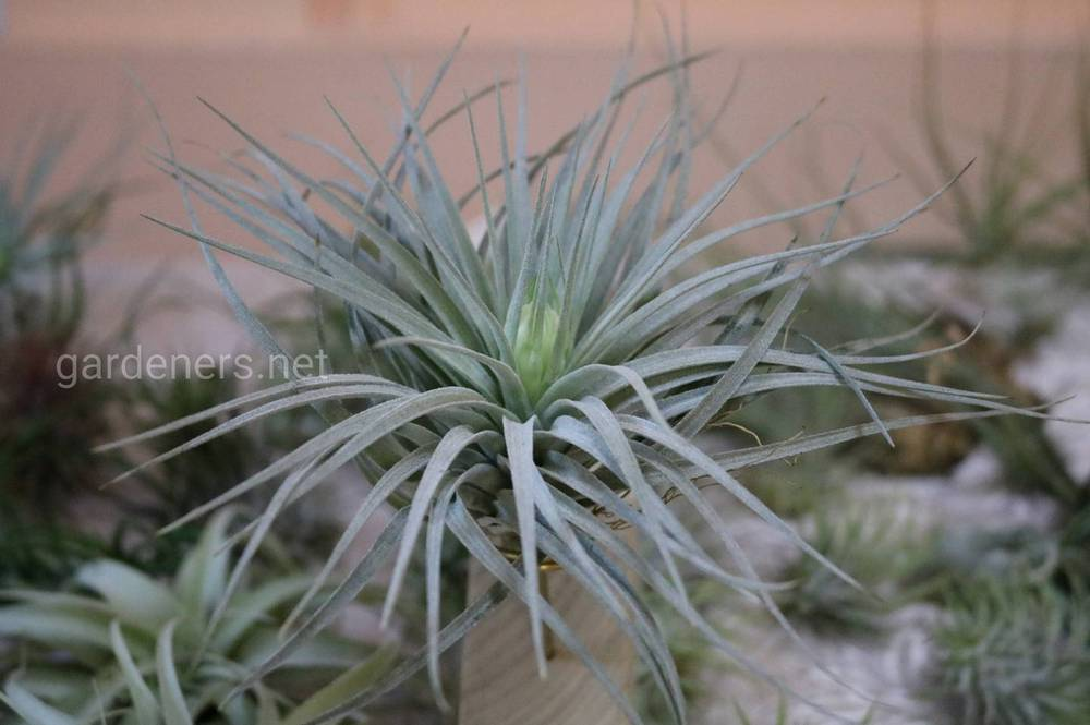 Необычное комнатное растение