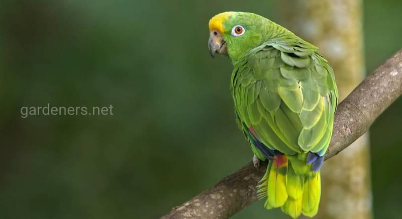 Амазонский папуга опис породи