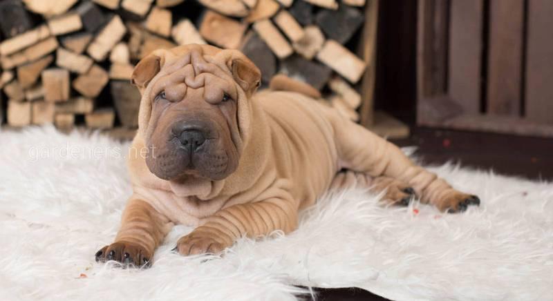 Они обязательно добьются своего: десять наиболее упрямых пород собак в мире