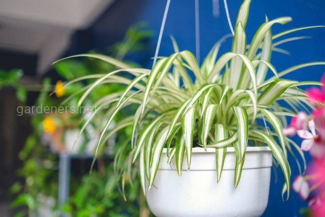 Які хвороби та шкідники кімнатних рослин можуть стати причиною їх гниття та занепаду?