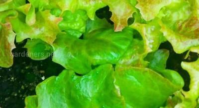 Вирощування салатів – шлях до успіху