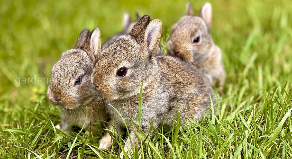 Як розводити кроликів