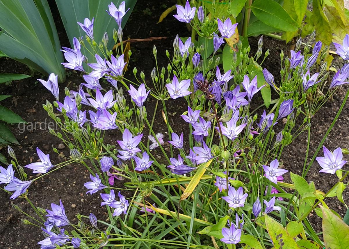 трителия в саду