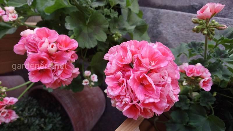 Як успішно вирощувати саму культивовану квітку - герань?