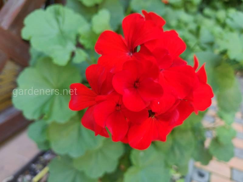Герань - найбільш підходяща віконна квітка. Які виділяють види?