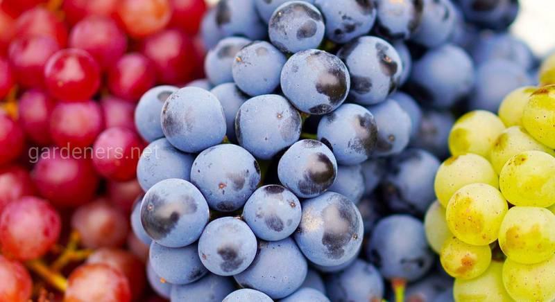 Виноград з великими ягодами: сорти та характеристики