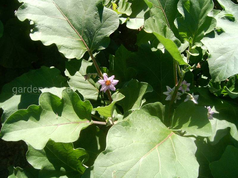 Для чого і як проводять зелену обрізку та міжрядну обробку при вирощуванні баклажанів?
