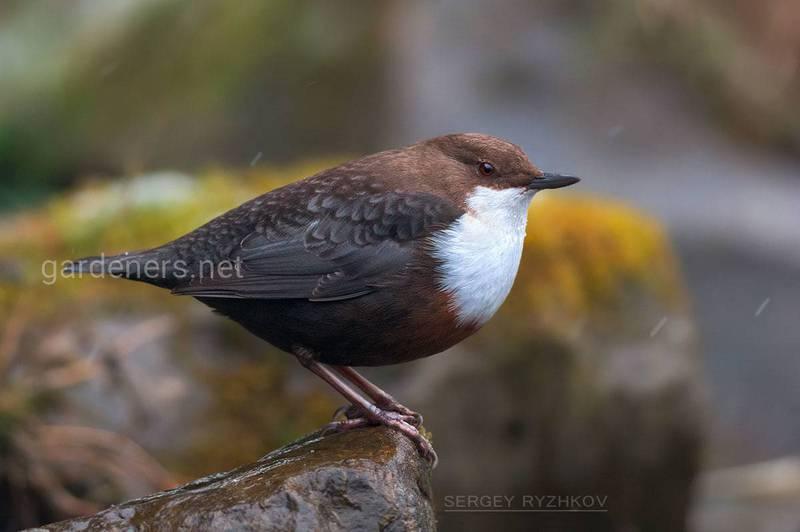 Птица Оляпка