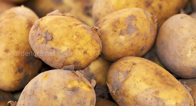 Когда выкапывать картофель, или как определить, что он созрел. Способы выкапывания