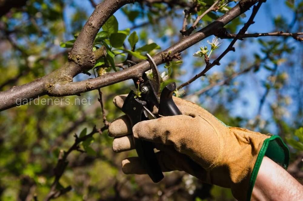 Правильное формирование кроны молодого дерева