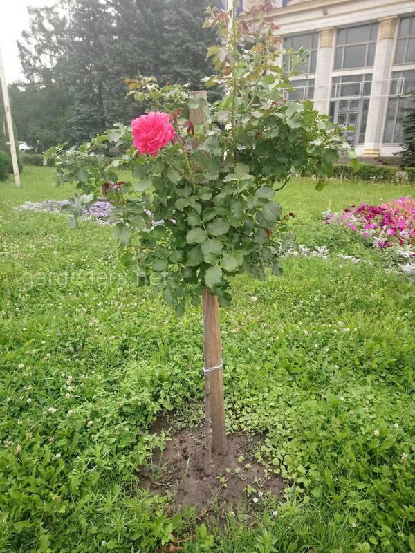 Як захистити штамбові троянди від низьких температур?