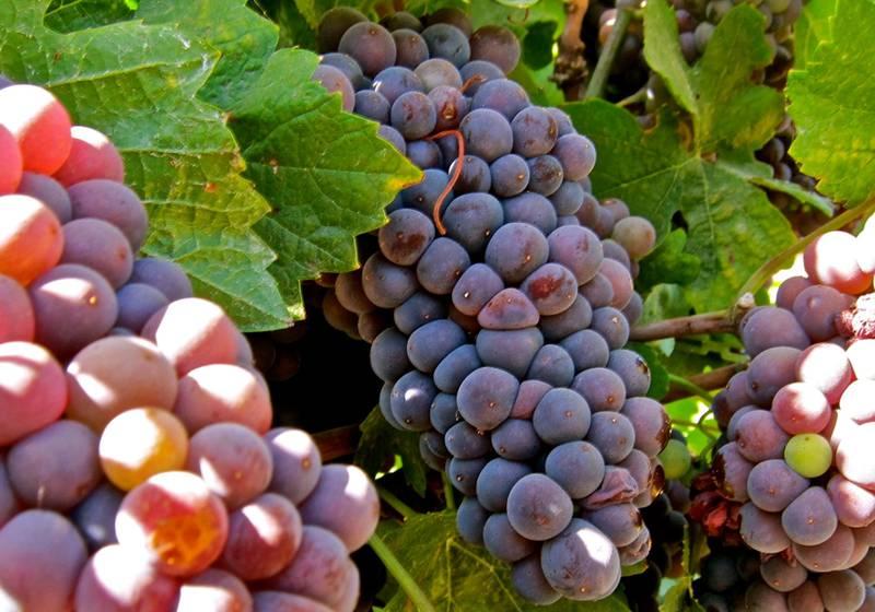Виноград сорт Піно-грі