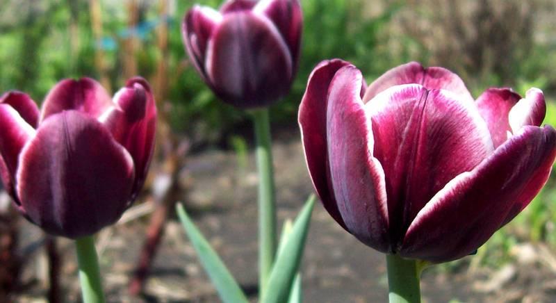 Тюльпаны класса Триумф: интересные сорта