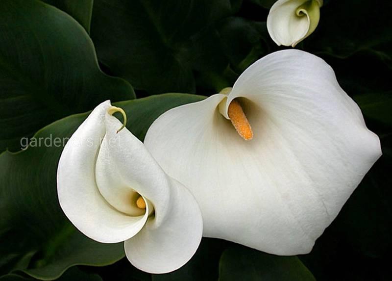 Белокрыльник (Калла)