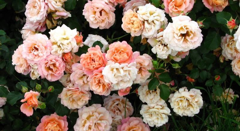 В чем заключается прелесть почвопокровных роз? Какие выделают группы?