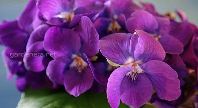 Почему не цветут фиалки