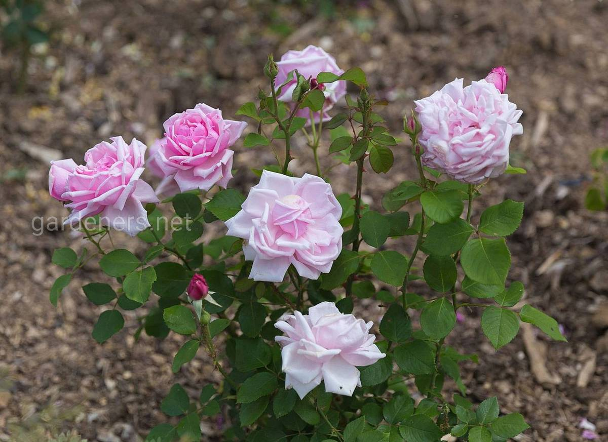 розы Ля Франс