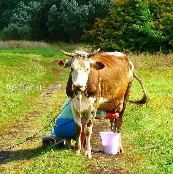 Доение коров