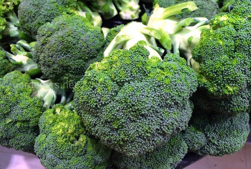 Брокколи: посев, вредители, севооборот, полив, сбор урожая