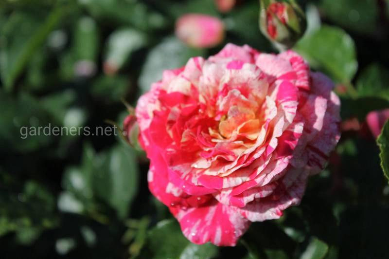 Флорибунда - идеальное украшение для небольшого сада