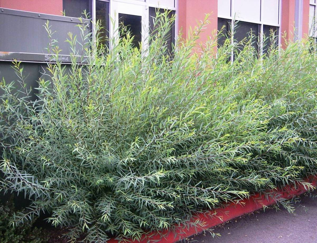 Salix purpurea gracilis