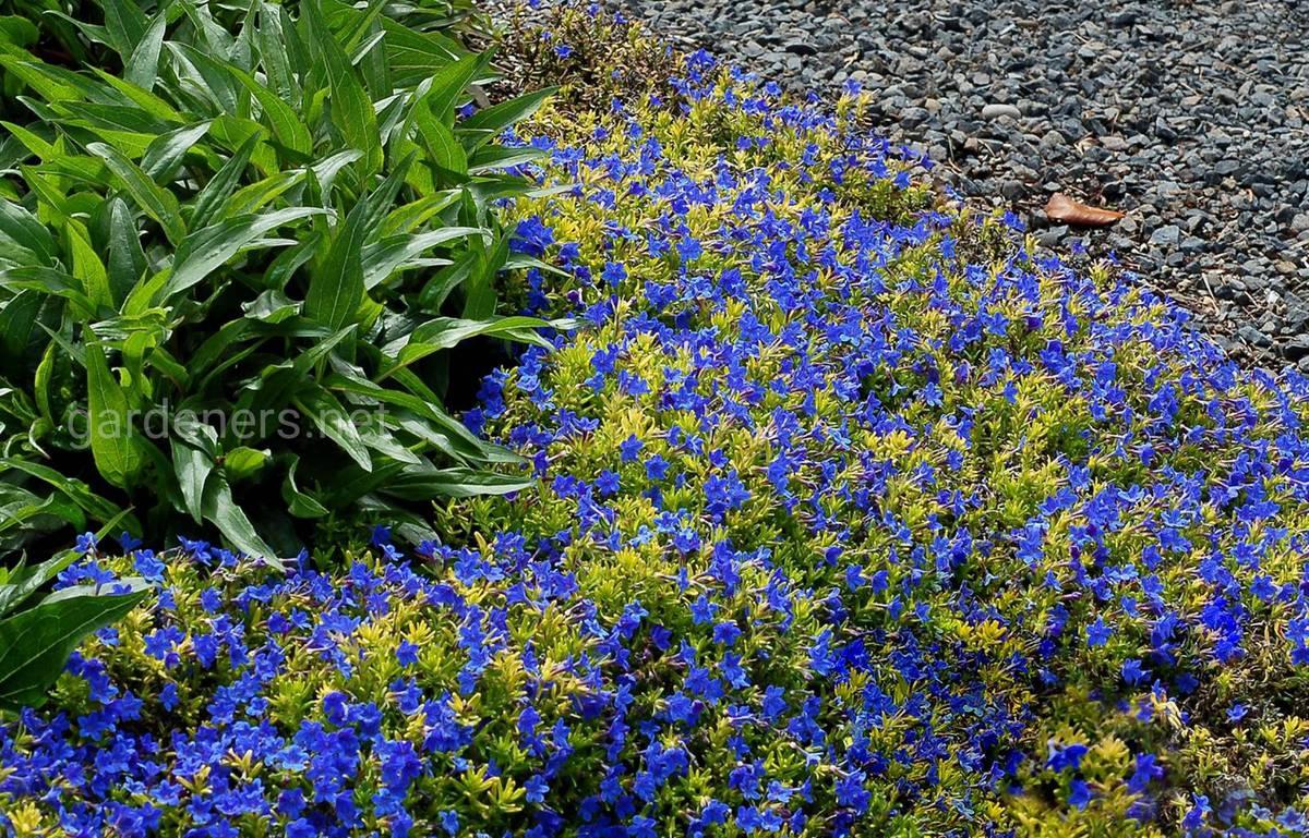 литодора в саду