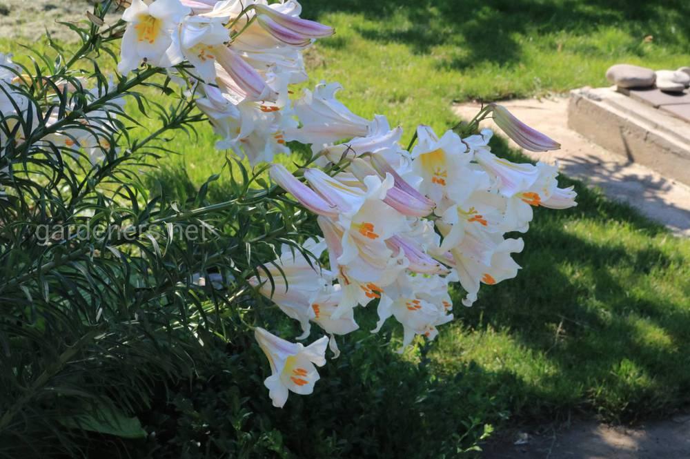 Правильна підживлення квітника різними добривами