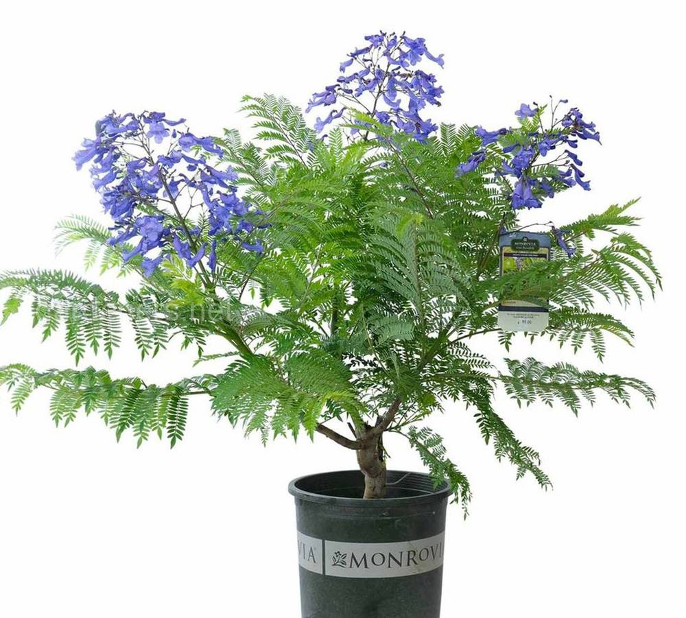 Bonsai Blue