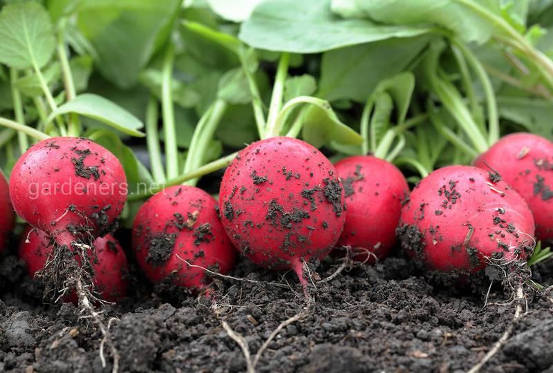 Вибір насіння для посадки редису.