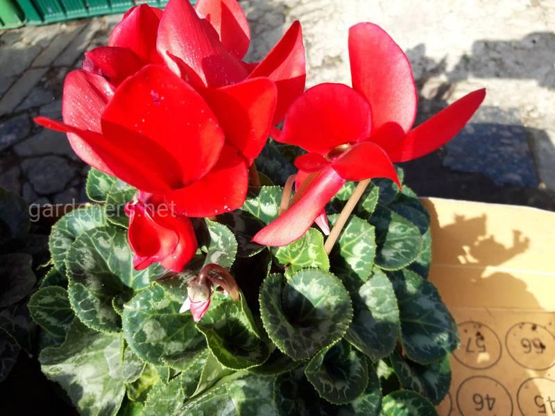 Какие комнатные растения цветут зимой?Часть1