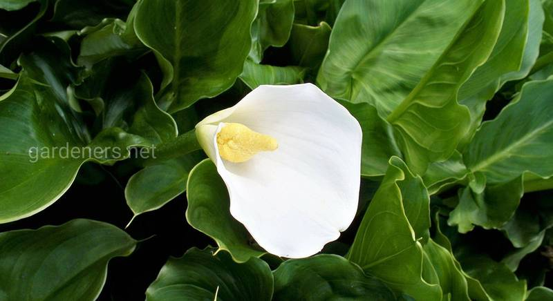 Аронник: советы для начинающих цветоводов по уходу за декоративным растением