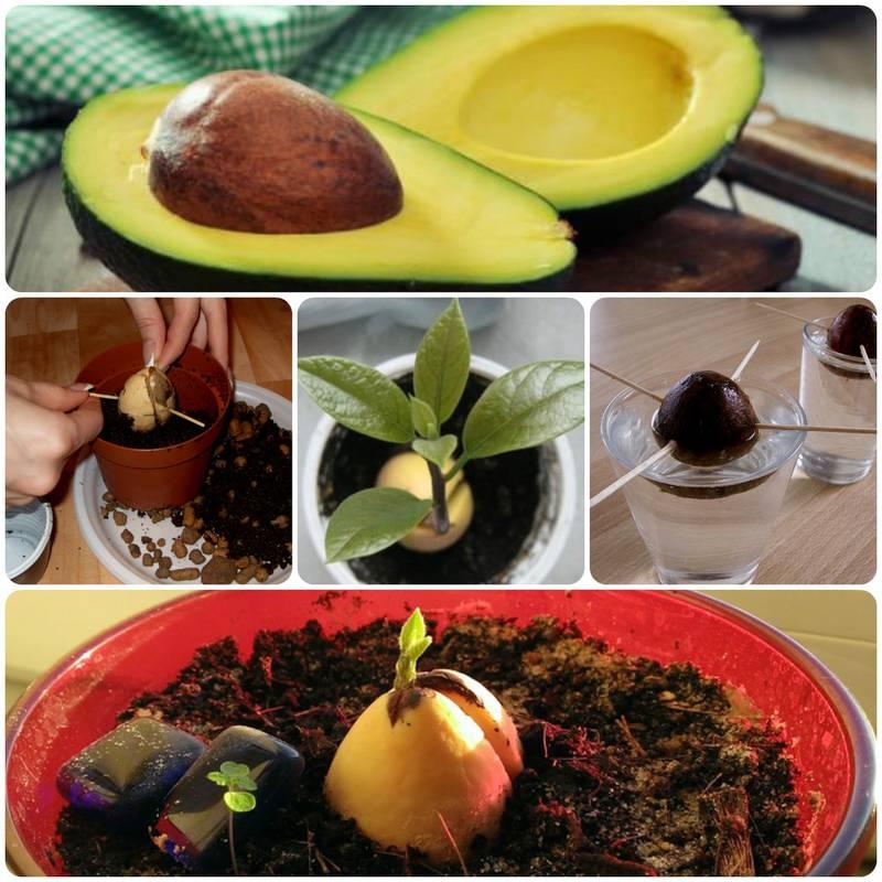 Как вырастить новые растения из остатков фруктов и овощей?