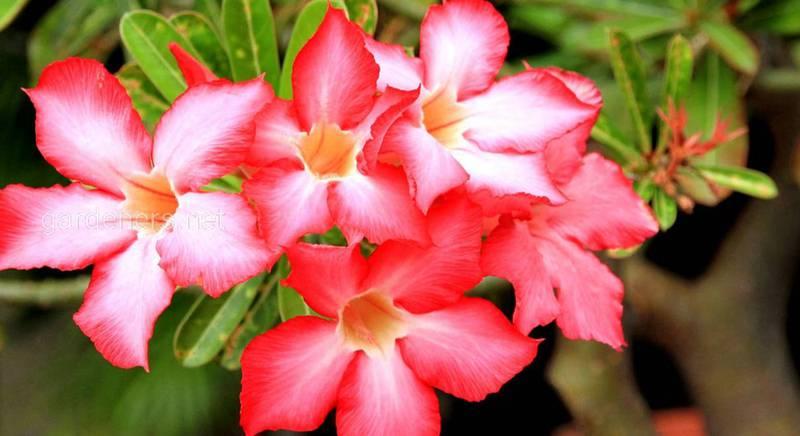Пустельна троянда: диво природи, яке вносить гармонію і тепло в дім