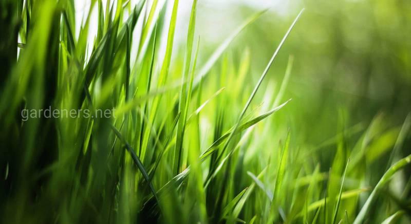 Дайте декоративному газону правильное питание