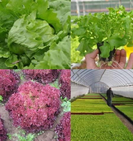 Як вирощувати салат в теплиці?
