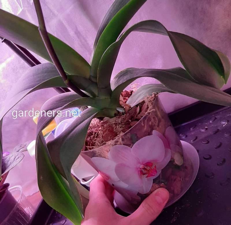 Как правильно пересадить орхидею? Рекомендации пошагово