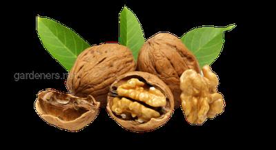 Досягнення і перспективи розвитку вирощування саджанців волоського горіха із закритою кореневою системою