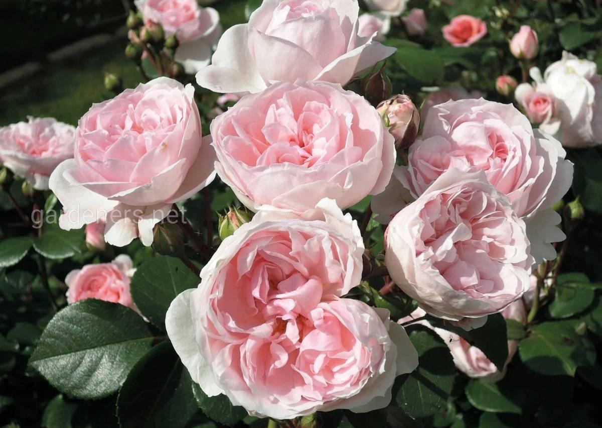 роза Золушка