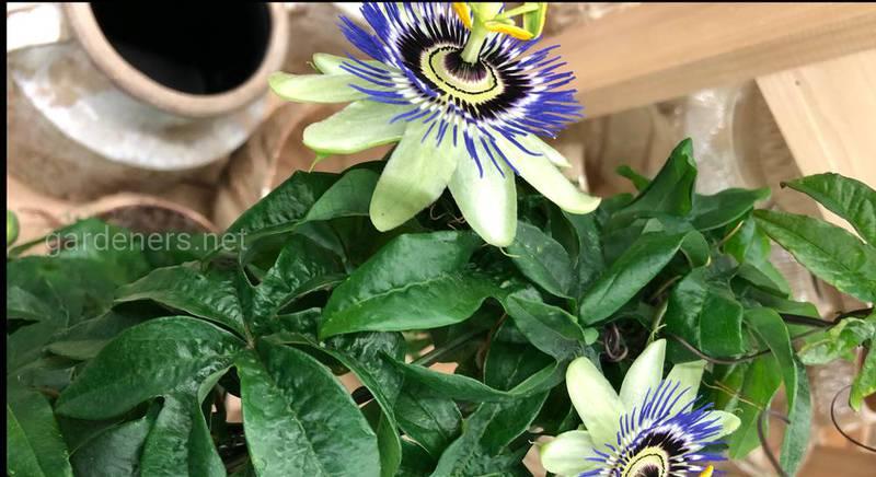 Как успешно выращивать пассифлору в домашних условиях?