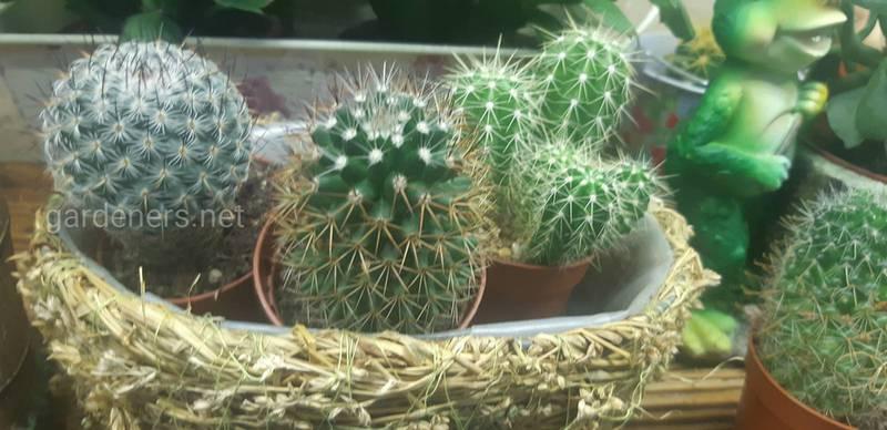 Какое освещение и полив необходимы кактусу в зимнее время?